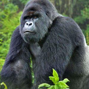 3-Day-Gorilla-Trekking-Uganda-Gorilla-Safari