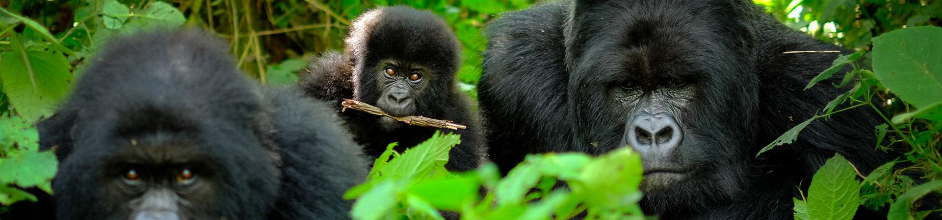 3-Day-Gorilla-Trekking-Uganda-Gorilla-Safaris