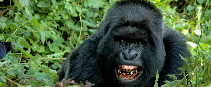 3-Days-Gorilla-trekking-to-Bwindi