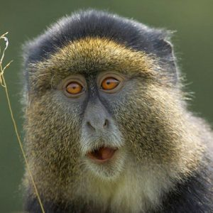 5-Days-Rwanda-Golden-Monkey