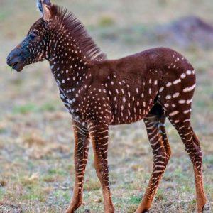 7-Days-Migration-Polka-zebra