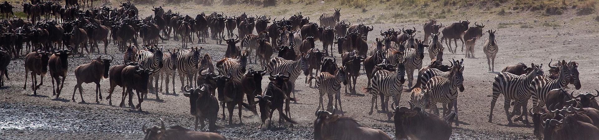 7-Days-wildebeests-Migration