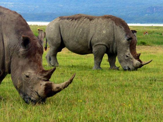 Rhino-East-Africa