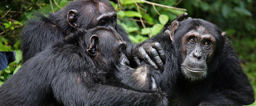 Uganda-7-Days-Primates-and-Wildlife-Safari-chimpanzee