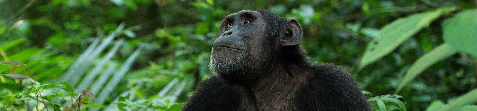 Uganda-7-Days-Primates-and-Wildlife-Safaris-chimpanzee