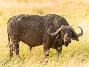 buffalo-East-Africa-Safaris