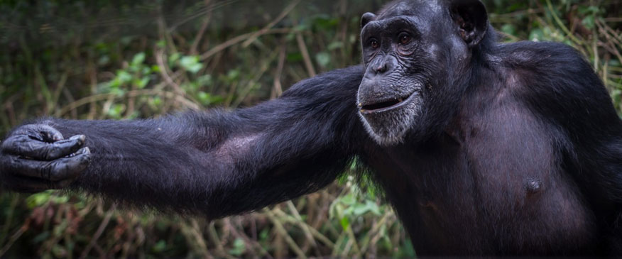 9-Days-Uganda-Safari-Apes
