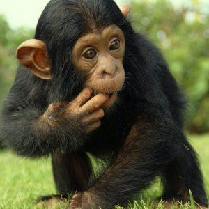 Chimpanzee-9-Days-Uganda-Apes-Safaris