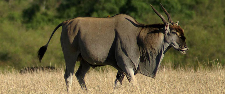 Eland-Selous-Game-Reserve