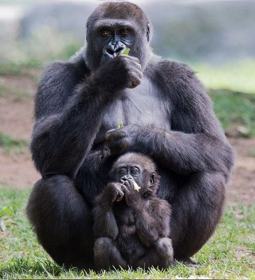 Gorilla-Mother-Child-Uganda