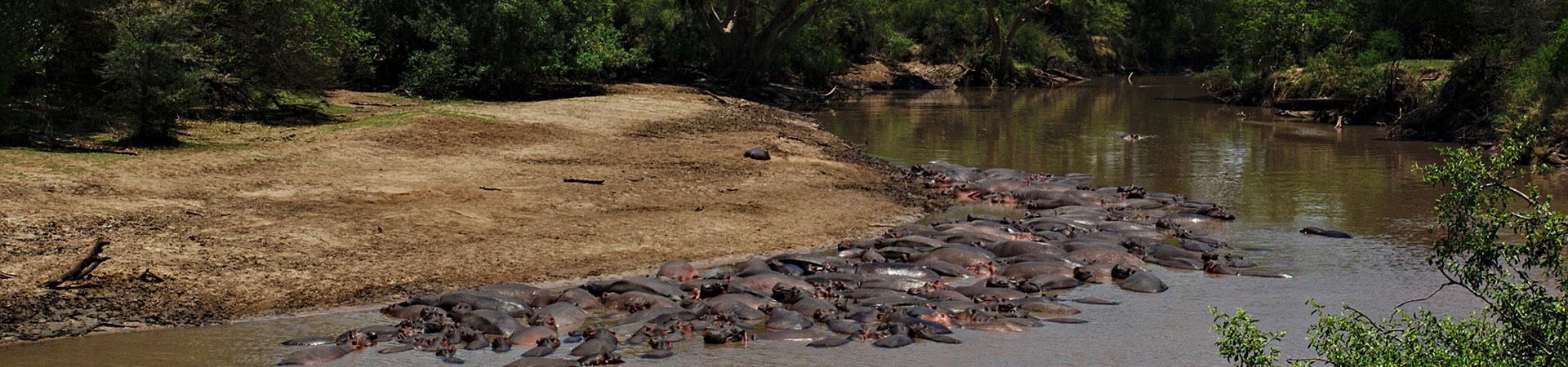 Hippo-in-Serengeti