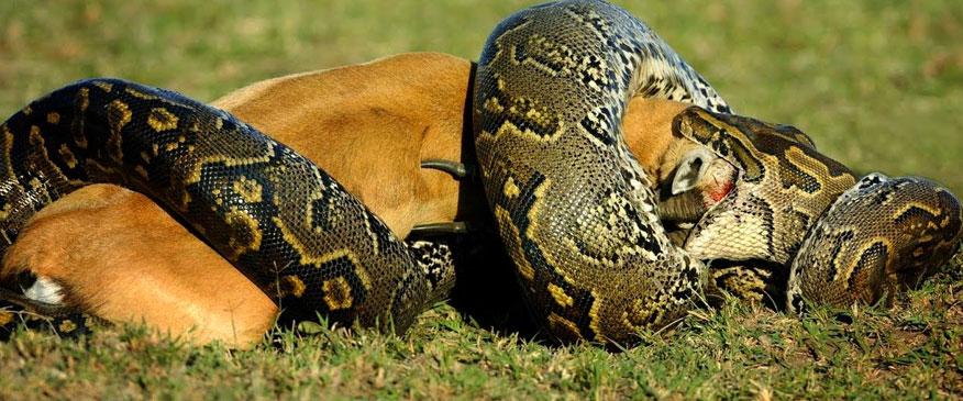 Python-in-Tarangire