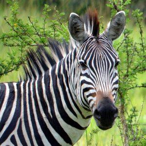 Zebra-Lake-Mburo-8-Days-Uganda-Safaris